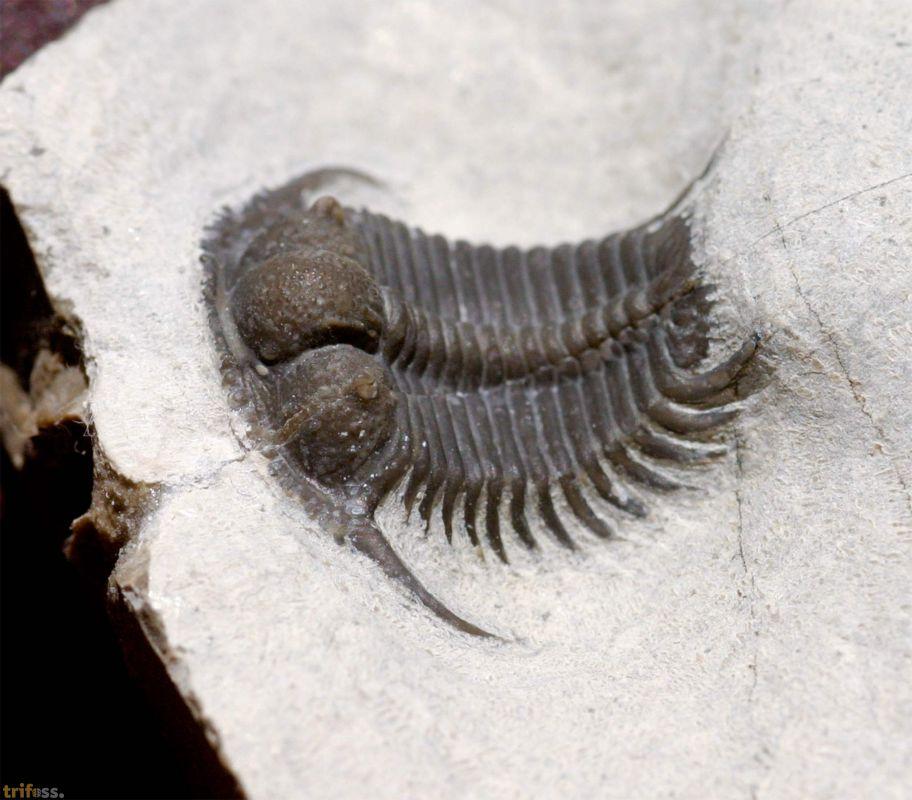 Trilobiten aus einer Zeit vor fast 500 Millionen Jahren.