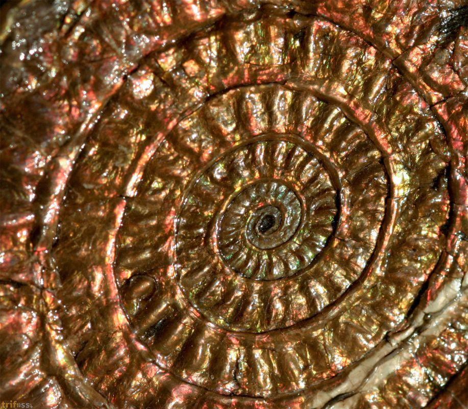 Ammoniten in voller Farbenpracht.