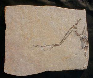 Solnhofen Platte mit 14ten Archaeopteryx